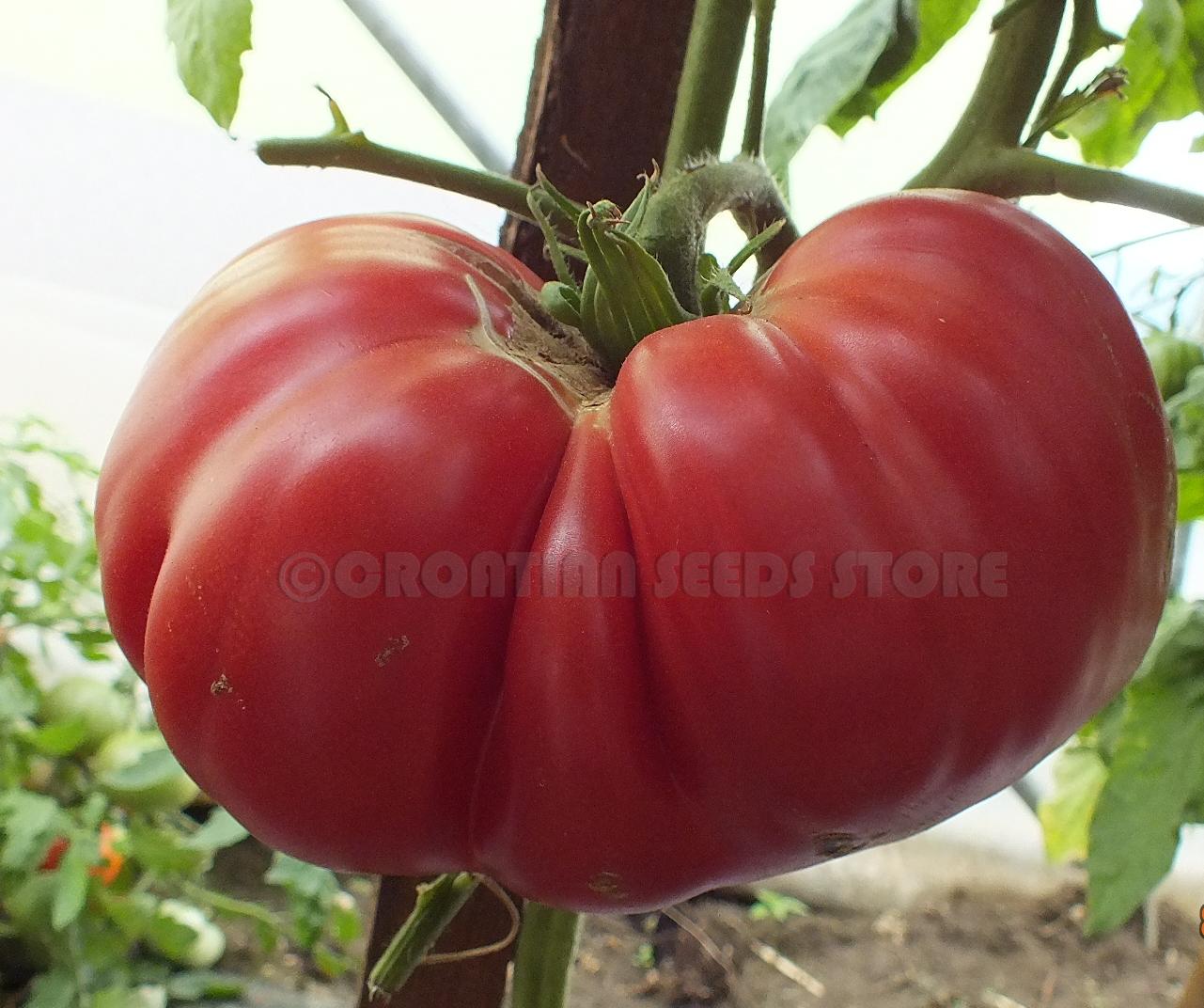Pink Tomatoes Chila Della Garfagnana Tomato