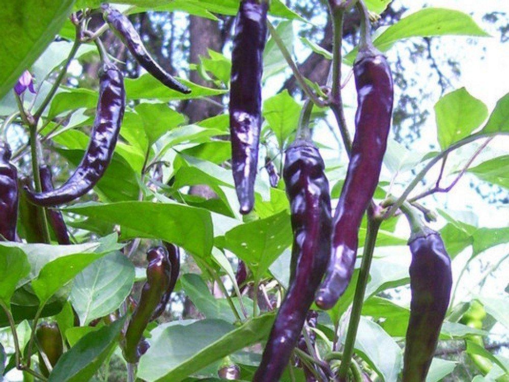 Légumes Hot Chilli Pepper Violet Cayenne 100 FINEST SEEDS