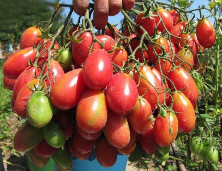 Cherry Tomatoes Chio Chio San Tomato